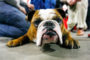 Buster, from Majestic Bulldogs, hangs out with his owner Max Anthony while at the 21st annual Dog Expo hosted by the Humboldt Dog Obedience Group. Buster, a local celebrity, has been seen on local television commercials for the Fin-n-Feather pet shop in Eureka. Daniel Solomon/The Eureka Reporter