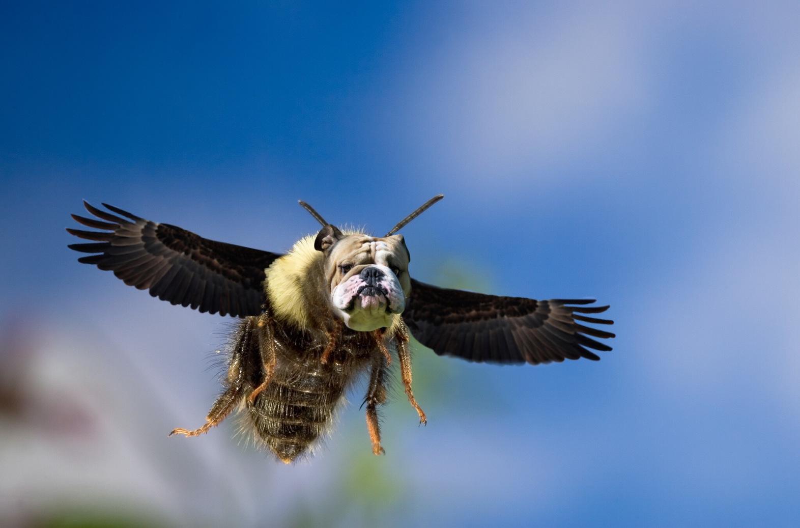 Bumblebee (Bombus sp) flying, Deschutes National Forest, Oregon